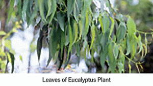 Leaves of Eucalyptus Plant